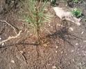 Резултати от залесяването на гората в Сливница – 3 месеца след залесяването